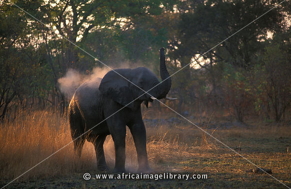 African elephant taking a dust bath, Loxodonta africana, Kafue National Park, Zambia