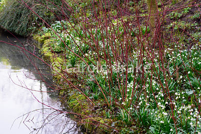 Leucojum vernum amongst the red stems of Cornus alba 'Sibirica' beside water at Hodsock Priory, Blyth, Notts