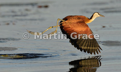 African Jacana (Actophilornis africana) in the early morning sun, River Chobe, Botswana