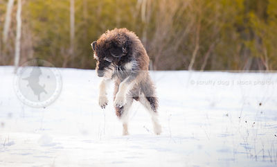 large scruffy dog pouncing in snowy field