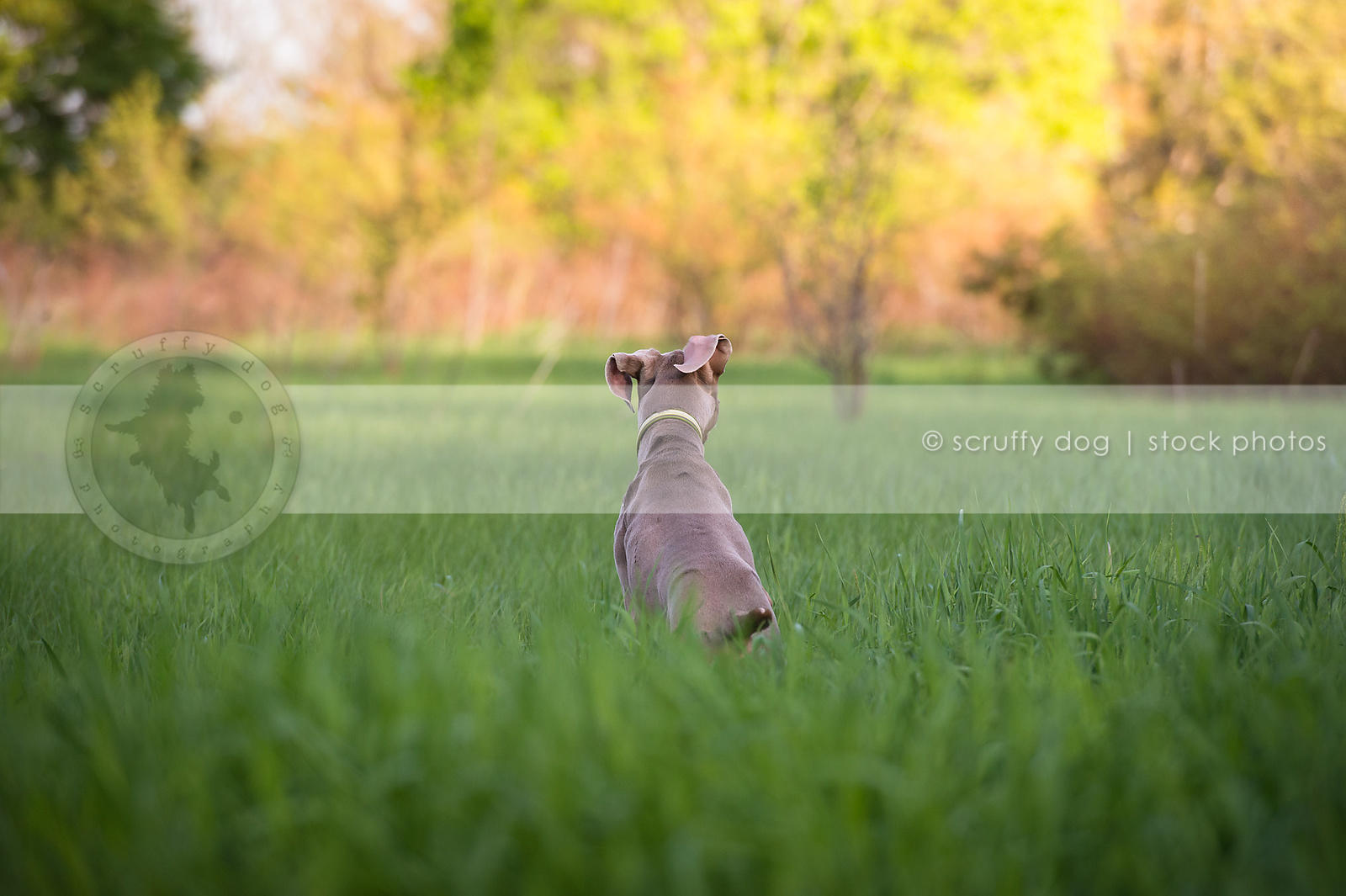 grey dog with ears from behind looking away in meadow grasses