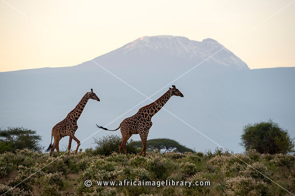 Front View Of Three Giraffe Standing On African Plains