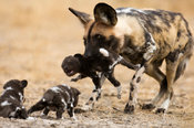 Wild dog carrying a pup to the den (Lycaon pictus), Central Kalahari, Botswana