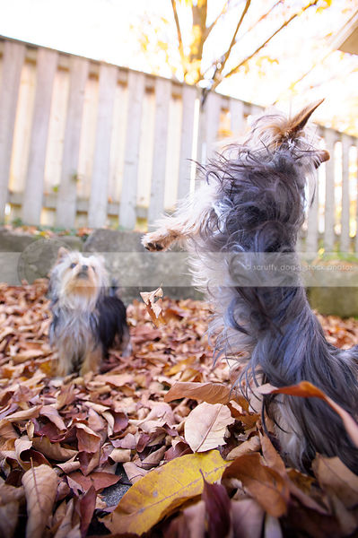 sibling yorkie dogs jumping playing in autumn leaves