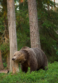 Brunbjørn / brown bear (Ursus arctos)