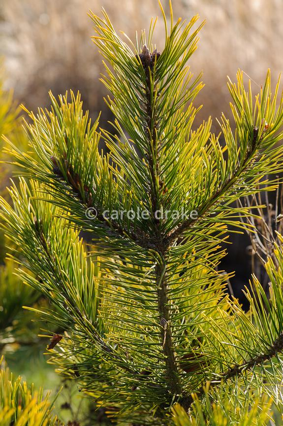 Pinus mugo 'Golden Glow'. Sir Harold Hillier Gardens, Ampfield, Romsey, Hants, UK