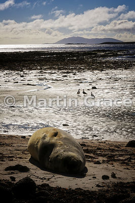 Shorescape, Carcass Island, with Southern Elephant Seal (Mirounga leonina) and three Kelp Gulls (Larus dominicanus), Falkland...