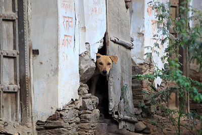 Street dog peers out from a weathered wall, Rajgarh village, Rajasthan, India