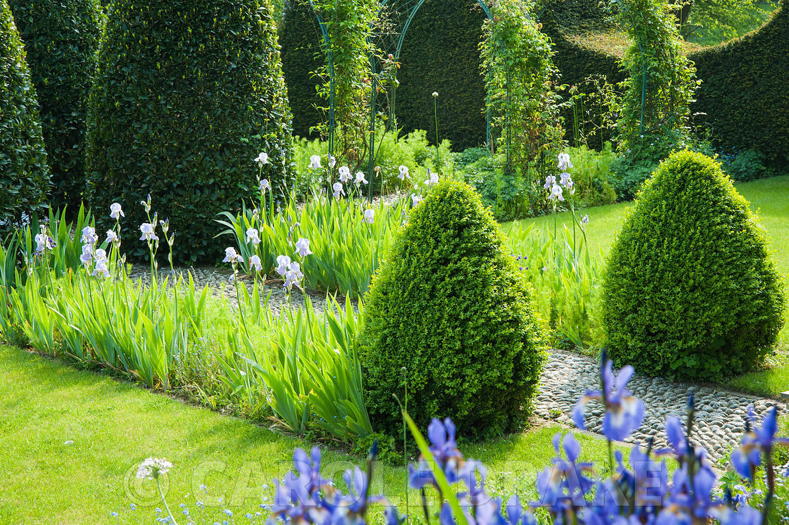 Topiary bay and box with blue forn of Iris germanica. The Old Rectory, Netherbury, Dorset, UK
