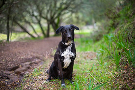 Black and White Labrador Mix Sitting on Trail in Woods