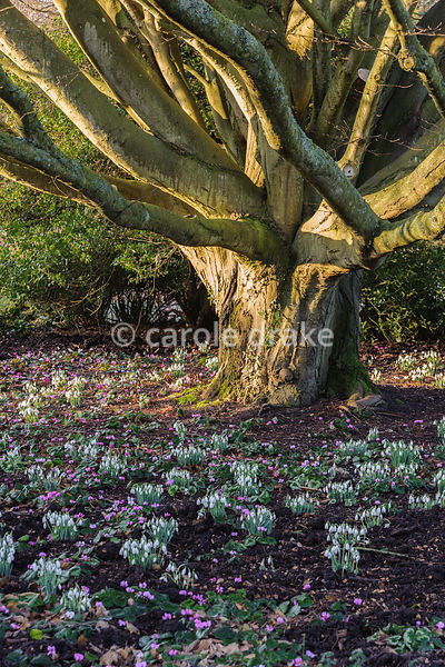 Snowdrops and Cyclamen coum below tree. Sir Harold Hillier Gardens, Ampfield, Romsey, Hants, UK
