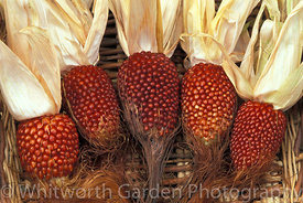 Zea mays (Maize) 'Strawberry Popcorn'. © Jo Whitworth