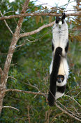 White-belted black-and-white ruffed lemur (Varecia variegata subcincta) displaying hindlimb suspensory posture, Vakona Forest...