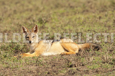 black_backed_jackal_relaxing_7