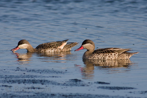 Red-billed Teal (Anas erythrorhyncha), Strandfontein, South Africa