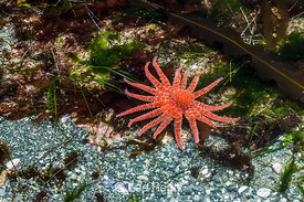 Sunflower Star Moving through Tide Pool in Olympic National Park