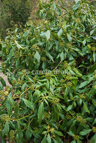 Hedera nepalensis var. sinensis. The Sir Harold Hillier Gardens/Hampshire County Council, Romsey, Hants, UK