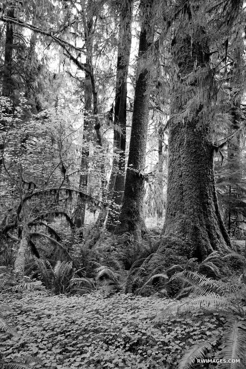 HOH RAINFOREST OLYMPIC NATIONAL PARK WASHINGTON PACIFIC NORTHWEST FOREST BLACK AND WHITE VERTICAL