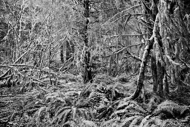 HOLLY MESS - SPRUCE NATURE TRAIL HOH RAINFOREST OLYMPIC NATIONAL PARK BLACK AND WHITE