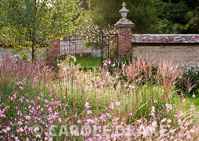 Newly planted beds of Miscanthus sinensis 'Kleine Silberspinne' and Gaura lindheimeri 'Rosyjane'. Heale House, Middle Woodfor...