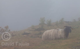 Sheep laying in the rain on a mountain pass