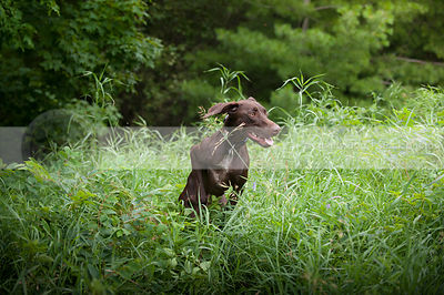 brown shorthaired dog running bounding in summer grasses