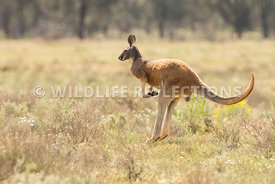 kangaroo_red_buck_hopping-2