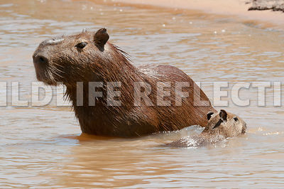 capybara_mother_cubs_swimming-01