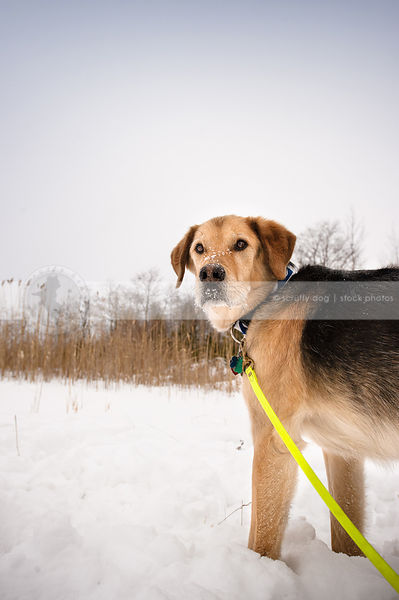 tan and black shepherd mixed breed dog looking back in winter