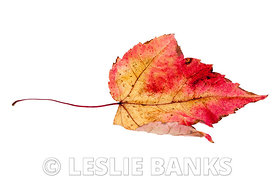 Dried red and yellow maple leaf isolated on white