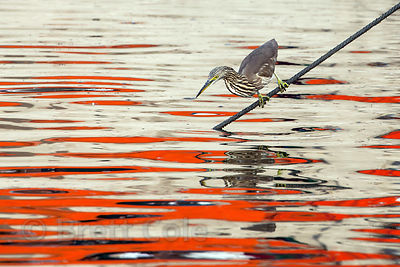 Indian Pond Heron (Ardeola grayii) fishing off the line of a boat in the Ganges River, Varanasi, India.