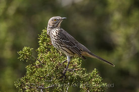 Juvenile Northern Mockingbird in Organ Mountains-Desert Peaks National Monument