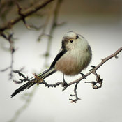 Hi there, little Long Tailed Tit