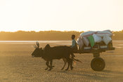 Zebu cart transporting cargo to boat in the sea, Toliara, Madagascar