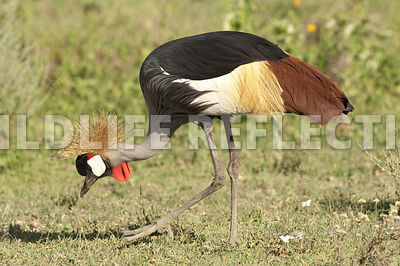 crested_crane_feeding_walk_1