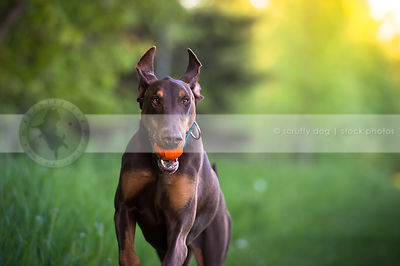 red and tan doberman dog fetching ball with minimal background
