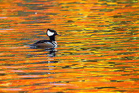 November - Hooded Merganser