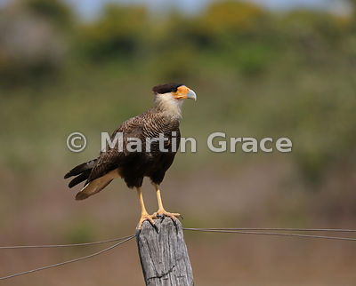 Southern Crested Caracara (Caracara plancus) standing on a fence post, looking to the side, Northern Pantanal, Mato Grosso, B...