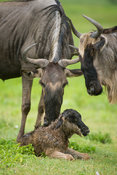 Blue wildebeest with newborn calf (Connochaetes taurinus), Ngorongoro Crater, Tanzania