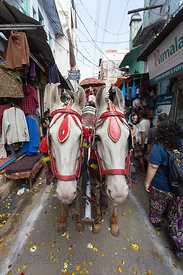 Two horses pull a carriage during Mahashivaratri (Shiva's birthday), Pushkar, Rajasthan, India