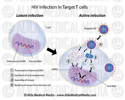 Latent and Active infection by HIV