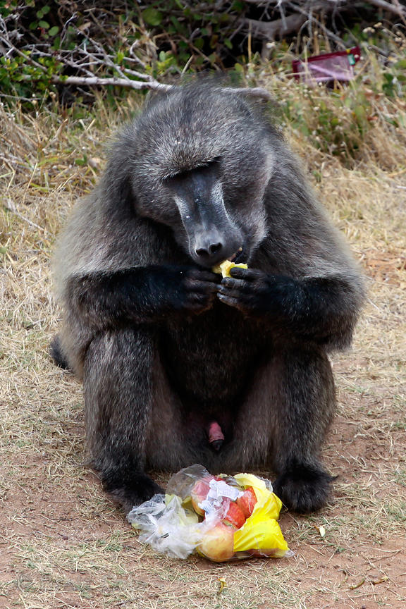 Alpha male chacma baboon from the Smitswinkel troop eats a bag of apples it took from a tourist's car, along the M4 near Mill...