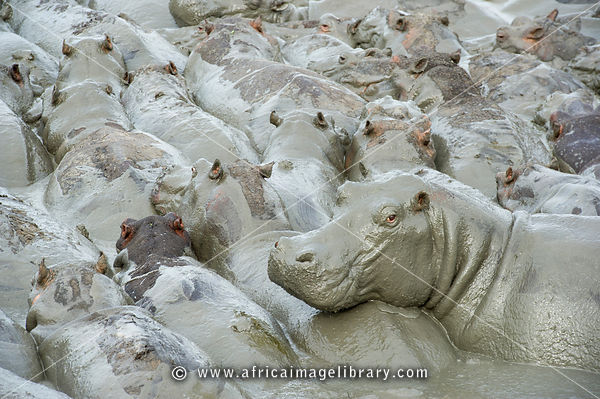 Hippopotamus congregate in small puddles in the dry season, (Hippopotamus amphibius), Katavi National Park, Tanzania