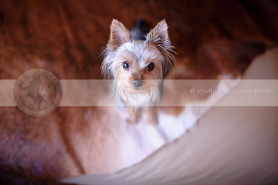 cute yorkshire terrier dog staring upward at home indoors