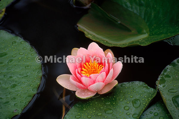 A pond lily in a Japanese Pond