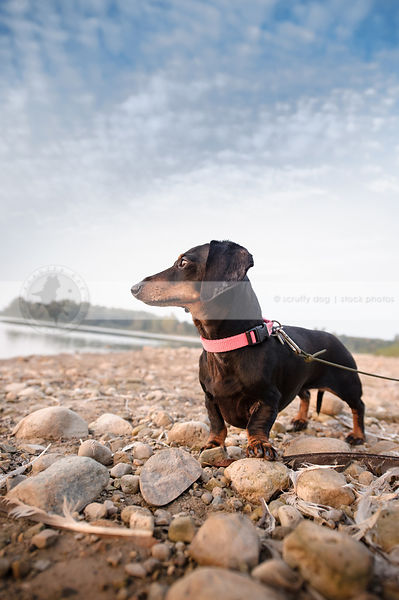 shorthaired dachshund standing on beach under blue sky