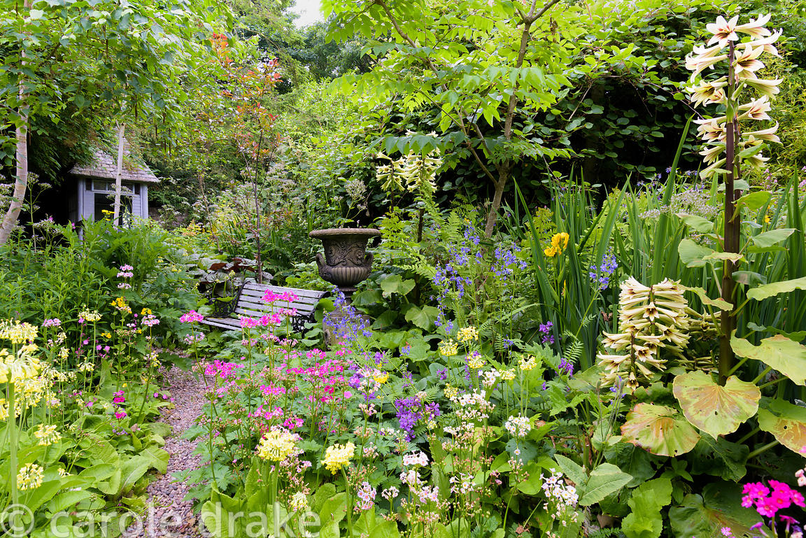 Lush moisture loving planting inside the walled garden at Glassmount in June including candelabra primulas such as pale yello...