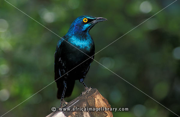 Greater blue-eared starling, Lamprotornis chalybaeus, Aberdares National Park, Kenya
