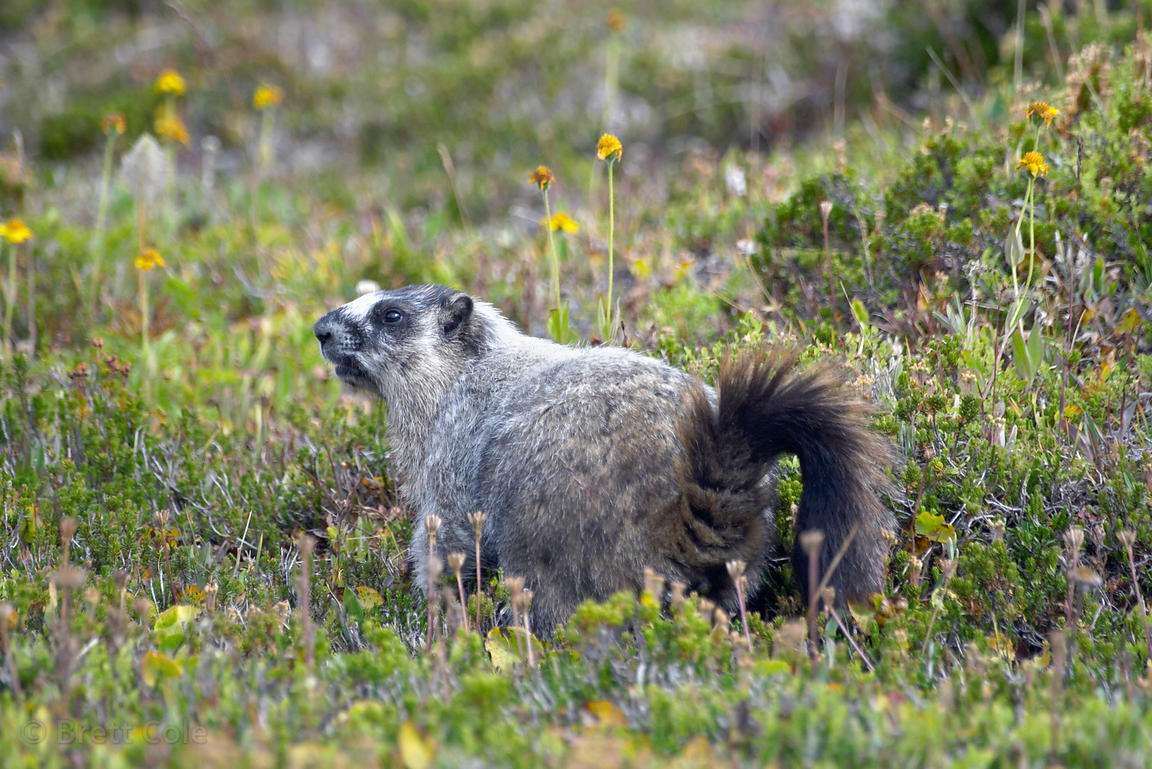 Hoary marmot at attention. Near Helen Lake, Banff NP, Canadian Rockies.