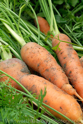 Freshly harvested carrots. © Jo Whitworth